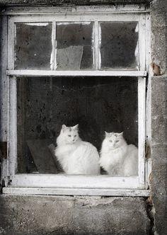Barn Cats in Window  8x10 Fine Art Photo Print by rbrosseau