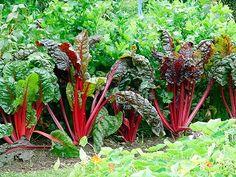 Cultivo de ruibarbo en el huerto - Agromática