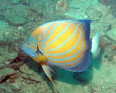 ANGELFISH_bluering