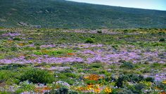 Namaqualand Spring wild flowers - South Africa.The Namaqualand region of the Northern Cape is bordered in the North by the Orange River and Namibia border and in the West by the rugged coastline of the Atlantic Ocean.