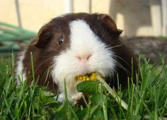 Guinea pigs and dandelions