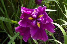 Natureworks... it's all about the plants: Eye Candy- My Amazing Japanese Irises
