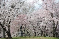 Central Park in Spring. Photo courtesy of NYC Parks on Twitter.