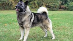 Norwegian Elkhound, I own one and it is the best dog in the world. Very well behaved, smart, and loves the snow!!