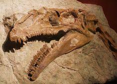Plateosaurus_engelhardti.jpg (2674×1924) - von Meyer, 1837. Dinosauria, Saurischia, Eusaurischia, Sauropodomorpha, Prosauropoda, Plateosauria, Plateosauridae. Auteur : Ghedo, 2011.