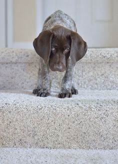 German Short Hair Pointer PUPPPIIEE!