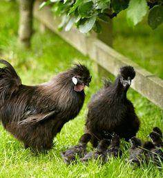 Black silkies, I think?