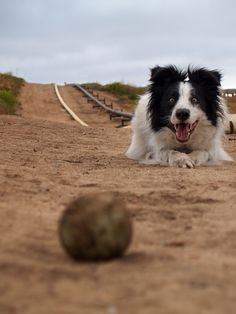 It's all about the ball #Border #Collie