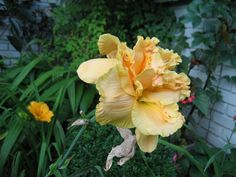 double daylily seedling