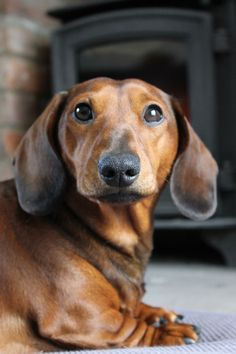 Dachshund Parade - bcw-costume: My special little man, and I've...