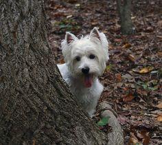 Westie in the woods...