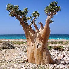 Arbol pepino en Socotra en la Republica de Yemen