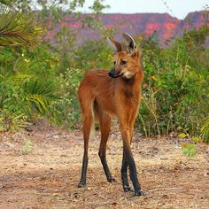 OMG Facts Page Liked · 1 hr ·     A Maned Wolf, sometimes referred to as a 'red fox on stilts'