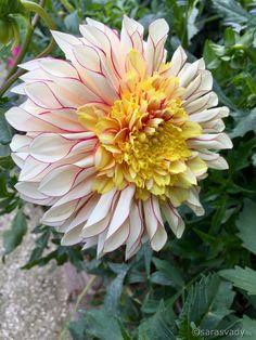 Summer Plants, Dahlia Flower, Garden Inspiration, Wonders Of The World, Lotus, Beautiful Flowers, Delicate, Gardens, Group