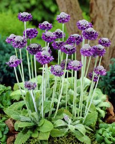 Blue by name and blue by appearance, the Primula capitata is one of the most recognisable and admired species of Primrose around. Description from 99roots.com. I searched for this on bing.com/images