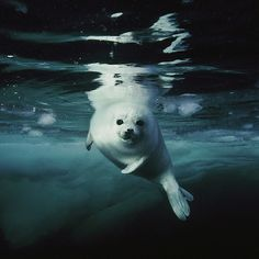 """Photo by @BrianSkerry A harp seal pup, about 14 days old, makes its first swim in the icy waters of Canada's Gulf of St. Lawrence. From my new exhibit """"Portraits of Planet Ocean"""" opening at the Smithsonian Natural History Museum in Washington, DC on Tuesday September 17th. Originally photographed for a harp seal story in National Geographic magazine.  @natgeocreative @thephotosociety #underwater #harpseals #climatechange #Padgram"""