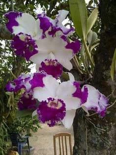 Gorgeous Cattleya                                                                                                                                                                                 Mais