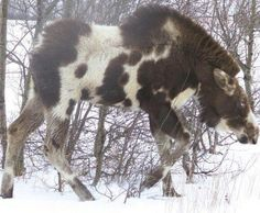 Appaloosa Moose