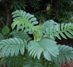 Peanut butter plant (Melianthus major) smells like peanut butter! Cool Plants, Air Plants, Garden Plants, Back Gardens, Small Gardens, Tropical Garden, Tropical Plants, Outdoor Plants, Outdoor Gardens