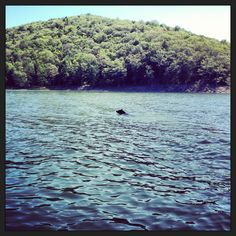 Bear swimming across kinzua