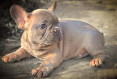 Blue fawn French bulldog male Blue Fawn French Bulldog, French Bulldogs, Cute Puppies, Cute Dogs, Kinds Of Dogs, Meatball, Doge, Boxers, Little Ones