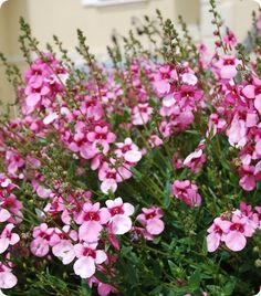 Diascia 'strawberry sundae'  I have to find out more about this plant!