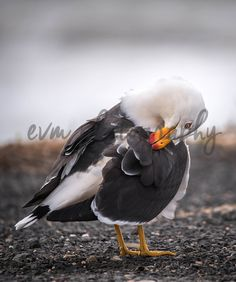 *******DIGITAL INSTANT DOWNLOAD*******  This is an original photograph of a Pacific Gull (Seagull), taken by EVM Photography.  This file is