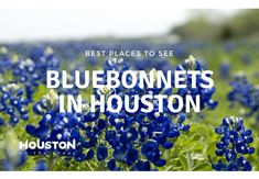 Looking for bluebonnets in Houston? Check out our list of the top Houston bluebonnet patches for your photo ops this spring! Houston Bars, Hermann Park, Endangered Plants, Best Happy Hour, Farm Activities, Soft Heart, Washington County, Real Estate Tips, Blue Bonnets