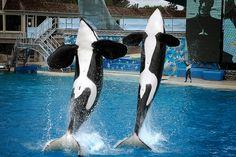 Killer Whales jumping at SeaWorld San Diego