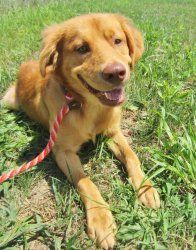<3 <3 Tommy Turnip is an adoptable Golden Retriever Dog in Anderson, IN. Tommy Turnip is a handsome Golden Retriever/Shepherd mix with a lovely personality. He would like to join your family and have a fore...