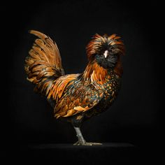 CYRON - GALLUS#6 - PHOTOGRAPHY - ART - ROOSTER