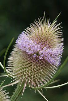 Wilde Karde Wikipedia Wilde Karde Garten Blumen