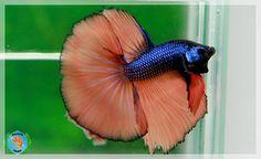 Orange Blue Betta Fish Types, Betta Fish Tank, Beta Fish, Tropical Freshwater Fish, Freshwater Aquarium, Tropical Fish, World Wild Life, Cool Fish, Siamese Fighting Fish