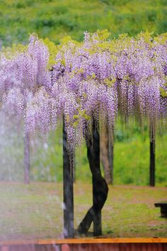 Wisteria by 風来山人 on PHOTOHITO