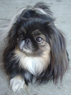 What a *lovely* Pekingese! Reminds me of my late female (white) Pekingese Moxie, that was a feisty, yet protective canine. Moxie passed away on the early morning of Saturday, October (ironically)at the age of Yorkies, Pekingese Puppies, Cute Puppies, Cute Dogs, Dogs And Puppies, Fu Dog, Dog Cat, Beautiful Dogs, Animals Beautiful