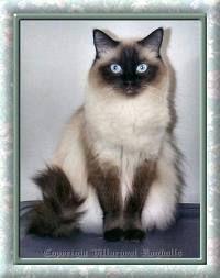 Rag doll cat