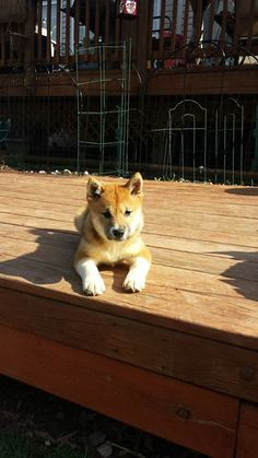 Miyu is a 3-month old female Shiba Inu. She will be adopted with a spay contract, will be up to date on vaccines and microchipped, and will be available to adopt pending vet and temperament assessments.