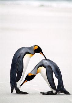 Courtship Bow, King Penguins, Falkland Islands by Ralph Lee Hopkins King Penguin, Penguin Love, Emperor Penguin, Birds That Cannot Fly, Macaroni Penguin, Vintage Penguin, Flightless Bird, Arctic Animals, Zoology
