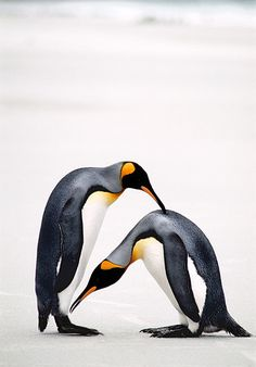 Courtship Bow, King Penguins, Falkland Islands by Ralph Lee Hopkins