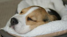 Beagle Pup Photo - Pictures of Beagles Puppies