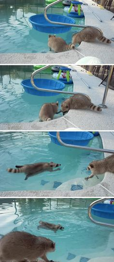 Swimming is a very stressful activity if you're a chubby little raccoon.