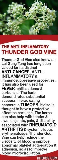 Thunder God Vine valued for its distinct anti-cancer anti-inflammatory & immunosuppressive properties has also been used for fever chills edema & carbuncle. The herb demonstrates substantial success in eradicating cancerous tumors. It also is thought t Natural Cure For Arthritis, Types Of Arthritis, Natural Cures, Natural Healing, Arthritis Hands, Arthritis Remedies, Health Remedies, Psoriasis Arthritis, Arthritis Treatment