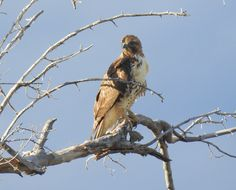 Red-Tailed Hawk-92916- (1)