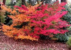 Gardening Autumn - Stunning fall shrubs: Garden Black chokeberry is orange, and burning bush is red. - With the arrival of rains and falling temperatures autumn is a perfect opportunity to make new plantations Garden Shrubs, Landscaping Plants, Front Yard Landscaping, Shade Garden, Garden Plants, Gardening Vegetables, Fall Plants, Container Gardening, Gardening Tips