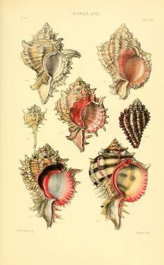 v.4 (1880) [Plates] - Thesaurus conchyliorum, or, Monographs of genera of shells - Biodiversity Heritage Library. http://biodiversitylibrary.org/page/15938276. #WorldOceansDay