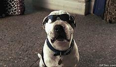 New trending GIF on Giphy. dog smiling sunglasses. Follow Me CooliPhone6Case on Twitter Facebook Google Instagram LinkedIn Blogger Tumblr Youtube