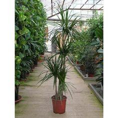 1000 id es sur le th me dracaena plant sur pinterest - Plante interieur sans lumiere ...