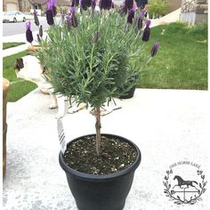 Can Spanish lavender topiary be planted in the ground? Lavender Plant Care, Potted Lavender, Topiary Trees, Potted Trees, Topiaries, Porch Plants, Indoor Plants, Herb Garden, Garden Plants