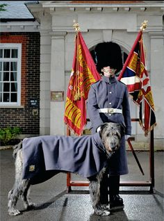 DomhnallThe Irish Wolfhound with the Irish Guards. British Army Uniform, British Uniforms, Ww2 Propaganda Posters, Queens Guard, British Traditions, British Armed Forces, Huge Dogs, Royal Guard, Military Art