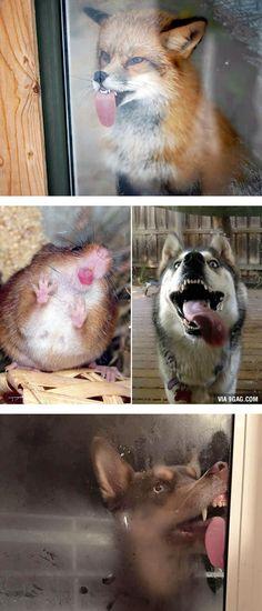 """Jeder hat es schon mal gemacht: Seine Nase platt gegen eine Fensterscheibe gedrückt! Hier die tierische Version dieser """"platten Gesichter"""".."""